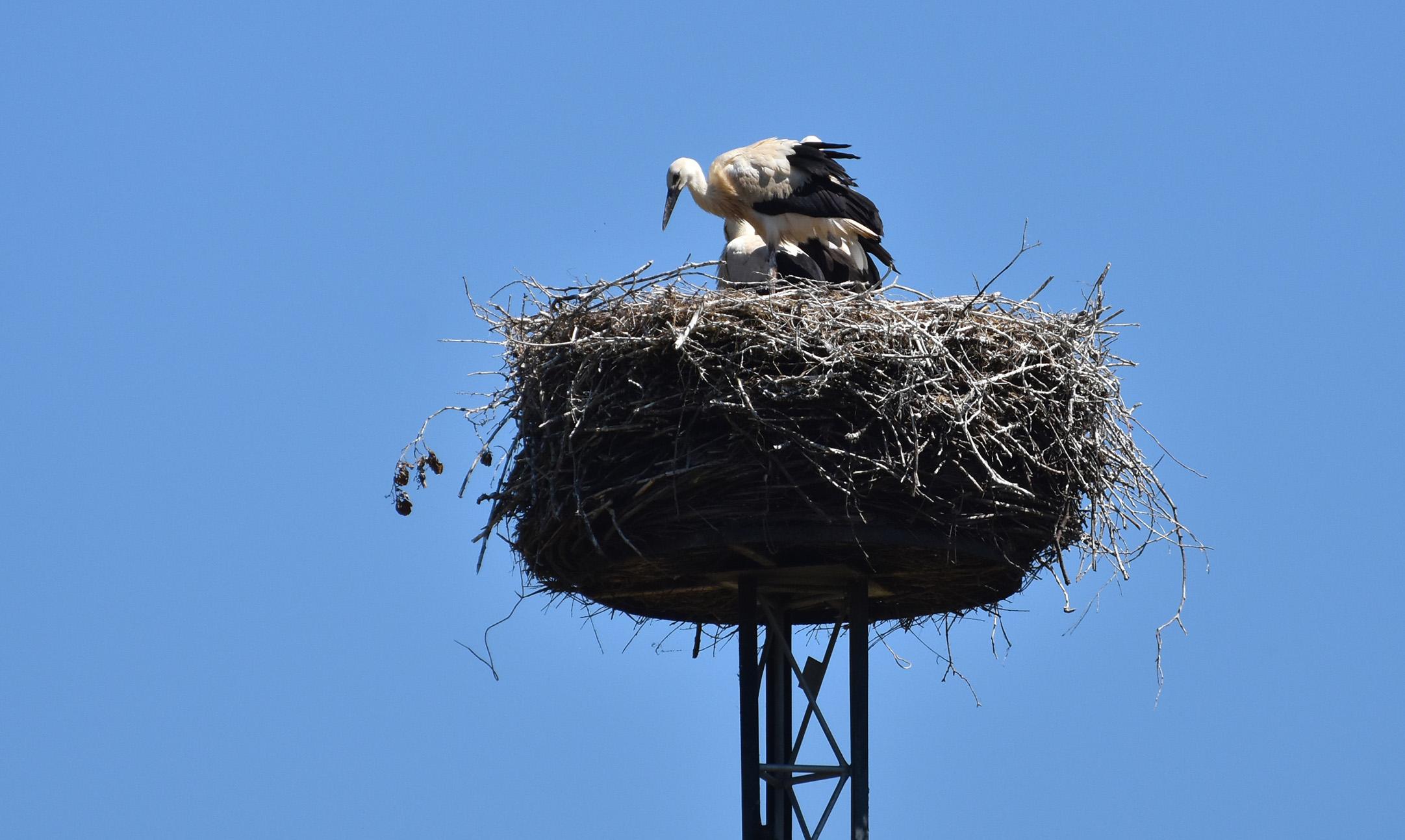Jonge ooievaars op het nest...