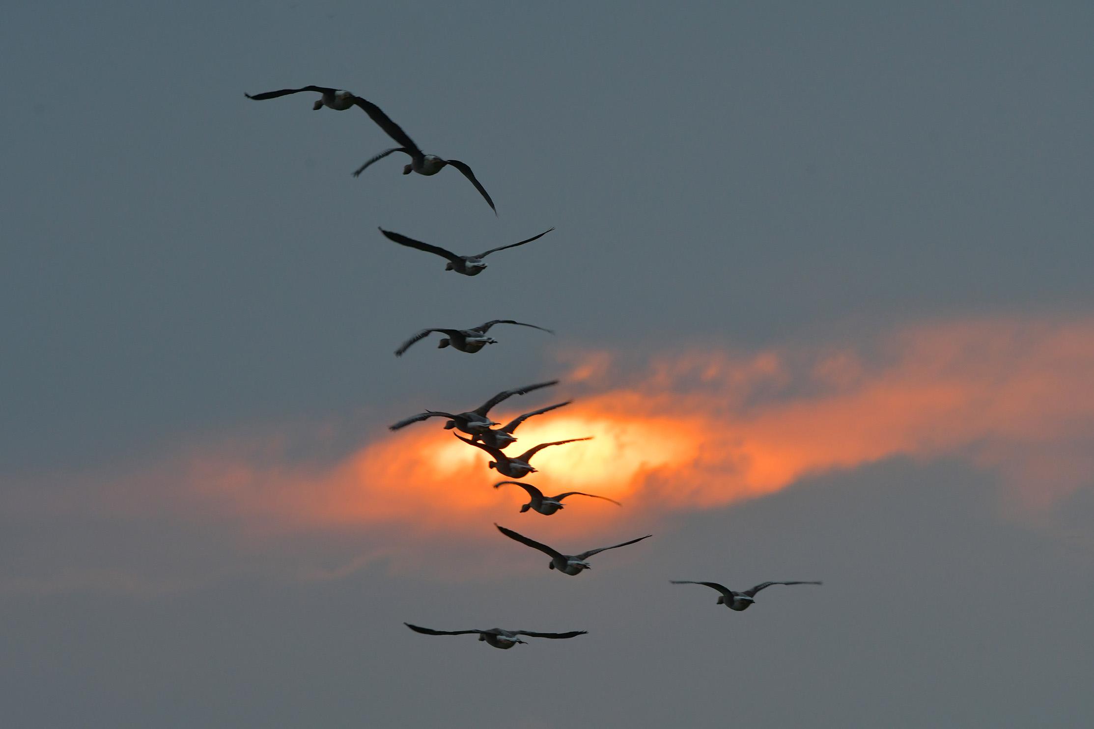 De ganzen vliegen zoals we verwacht hadden, al gakkend dwars door het prachtige avondlicht – Foto: © Louis Fraanje