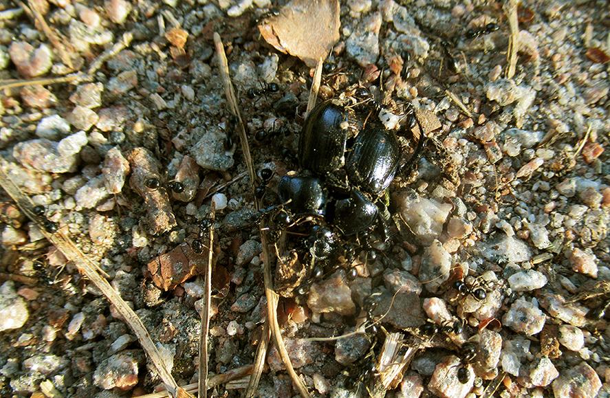 Bosmieren hebben een platgetrapte mestkever gevonden - Foto: ©Fransien Fraanje