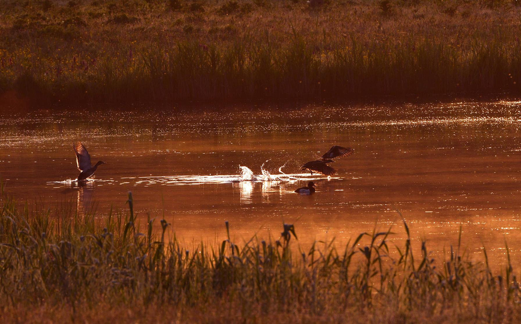 Op het water is het een gefladder en gekwetter van vogels die vertrekken – Foto: ©Louis Fraanje