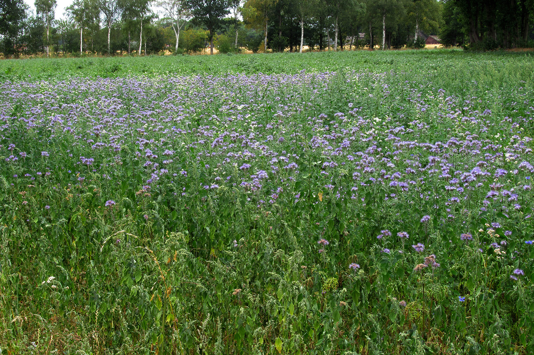 Hier een prachtig veld vol met ingezaaide phacelia, een bijenplant -Foto: ©Louis Fraanje