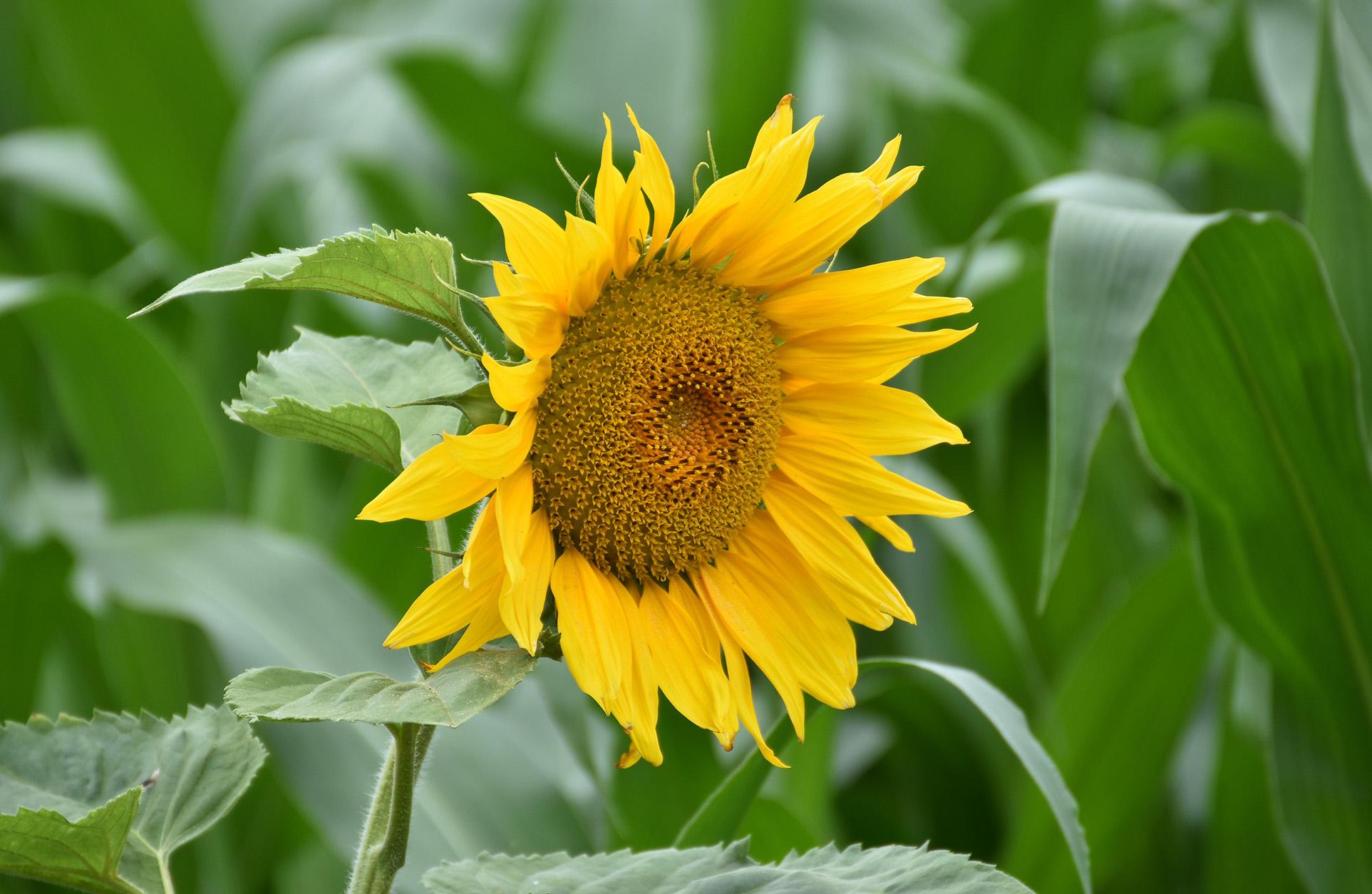 Zomaar een prachtig bloeiende Zonnebloem naast een maisakker - Foto: ©Louis Fraanje