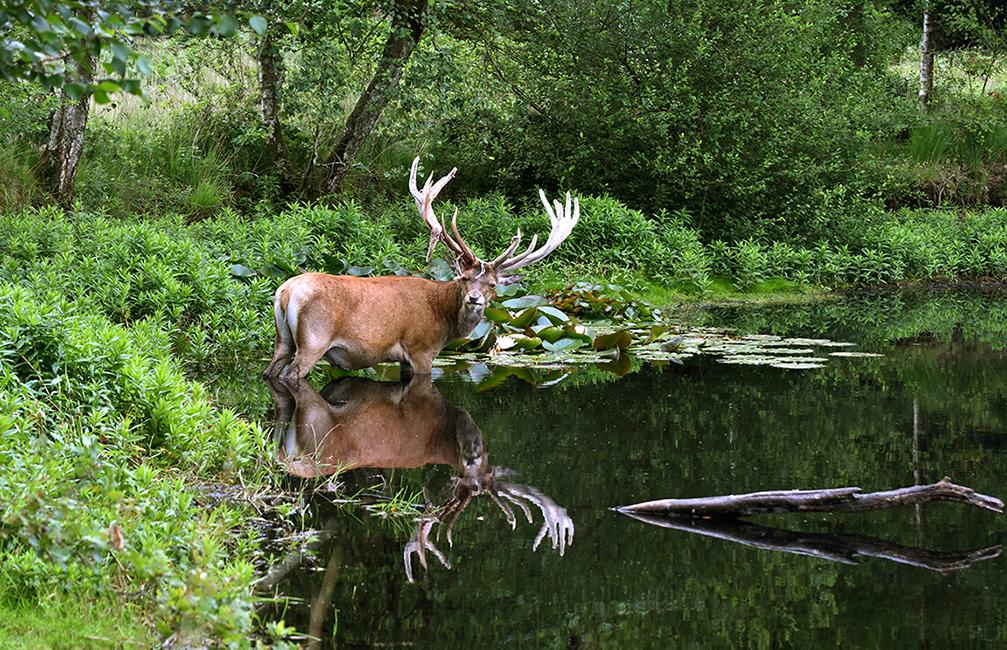 Een prachtig spiegelbeeld van Hubertus in het water – Foto: ©Louis Fraanje