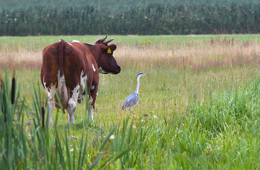 Een rood/bonte koe en een blauwe reiger op de uitkijk – Foto: ©Louis Fraanje