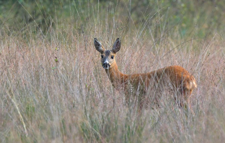 En... wat zagen die twee nou... iets verderop stond een reegeit in het hoge gras – Foto: ©Louis Fraanje