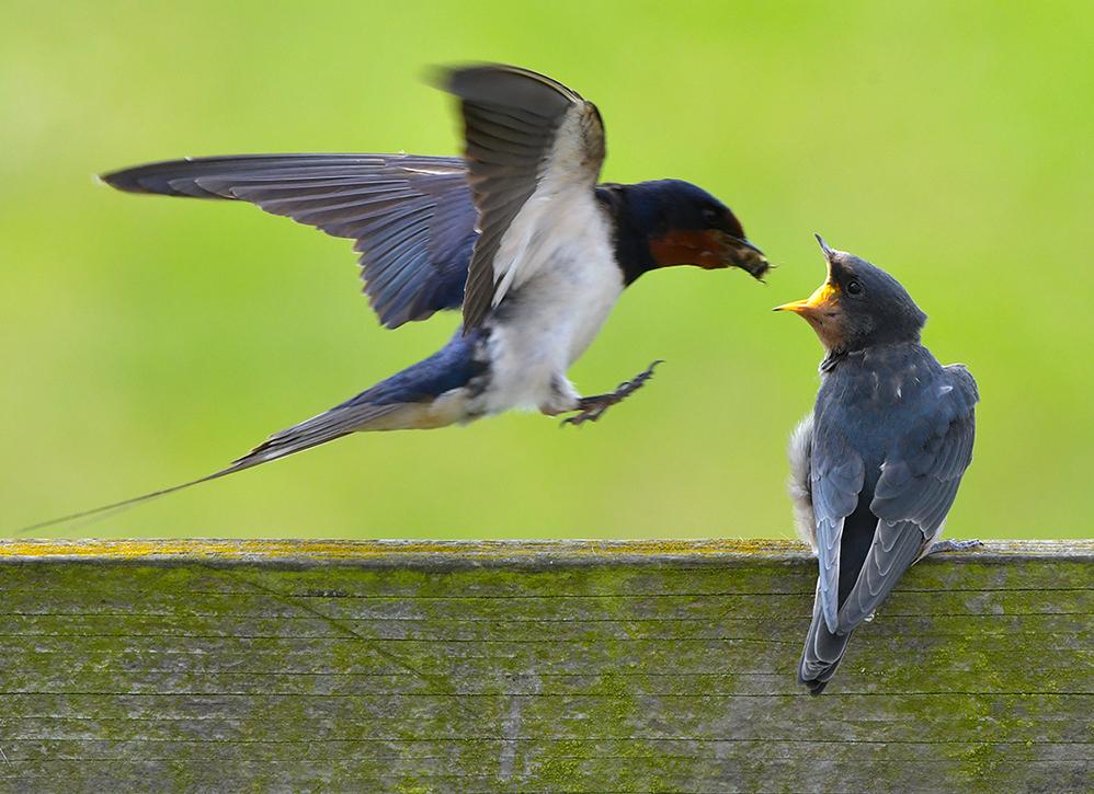 Moeder komt met volle snavel aanvliegen – Foto: ©Louis Fraanje