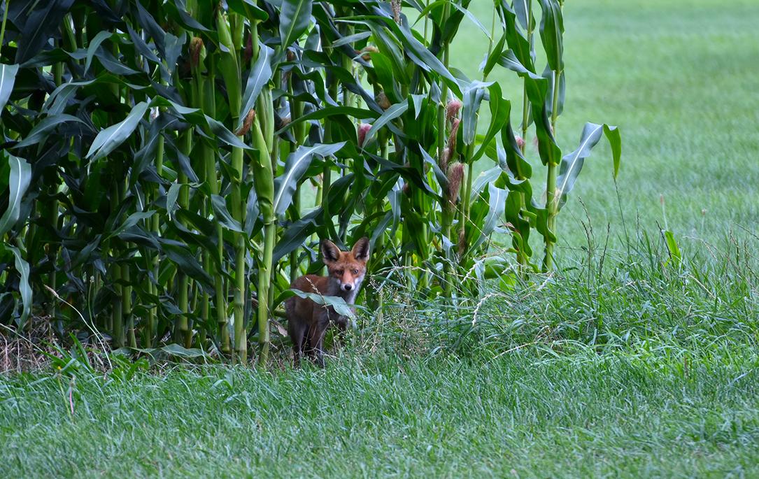 Aan het uiteinde van de maisakker staat een vos – Foto: ©Louis Fraanje