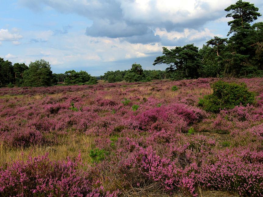 Een schitterend gezicht nu de Veluwse heide zo prachtig in bloei staat – Foto: ©Fransien Fraanje