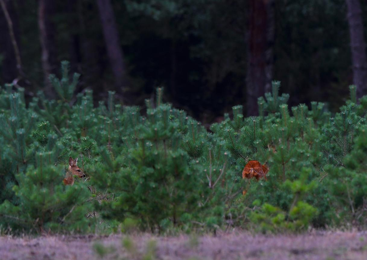 Een reegeit met haar kalf stonden in een bosvak met jonge dennen – Foto: ©Louis Fraanje