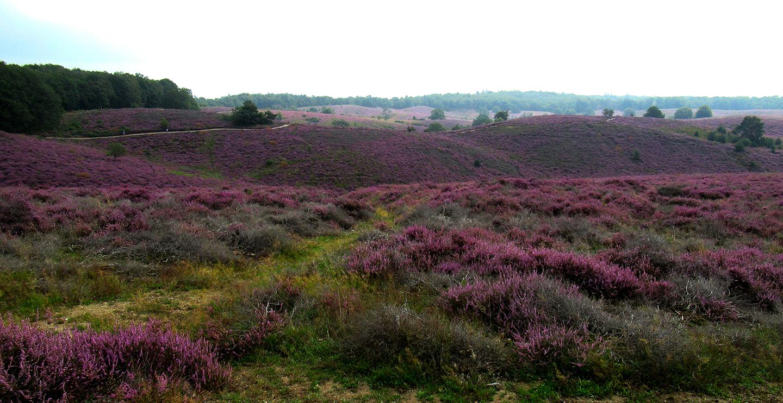 De paarse heuvels op de Posbank bij Rheden - Foto: ©Louis Fraanje