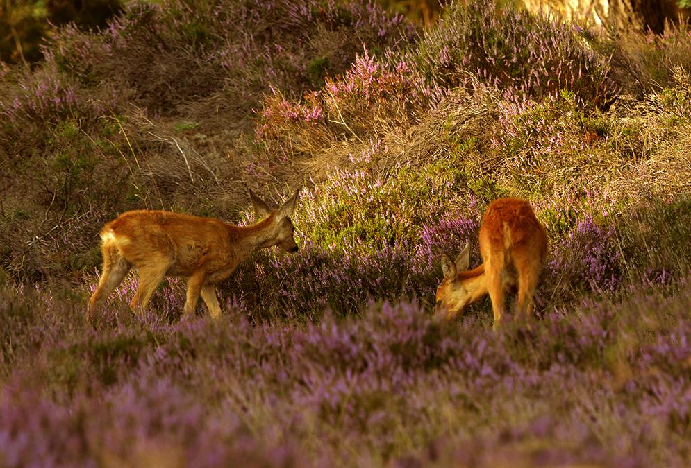 Het blijft genieten, om die twee zo bezig te zien in de bloeiende heide – Foto: ©Louis Fraanje