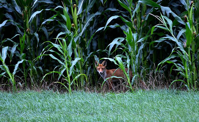 Heel even staan we 'oog in oog' met de vos – Foto: ©Louis Fraanje