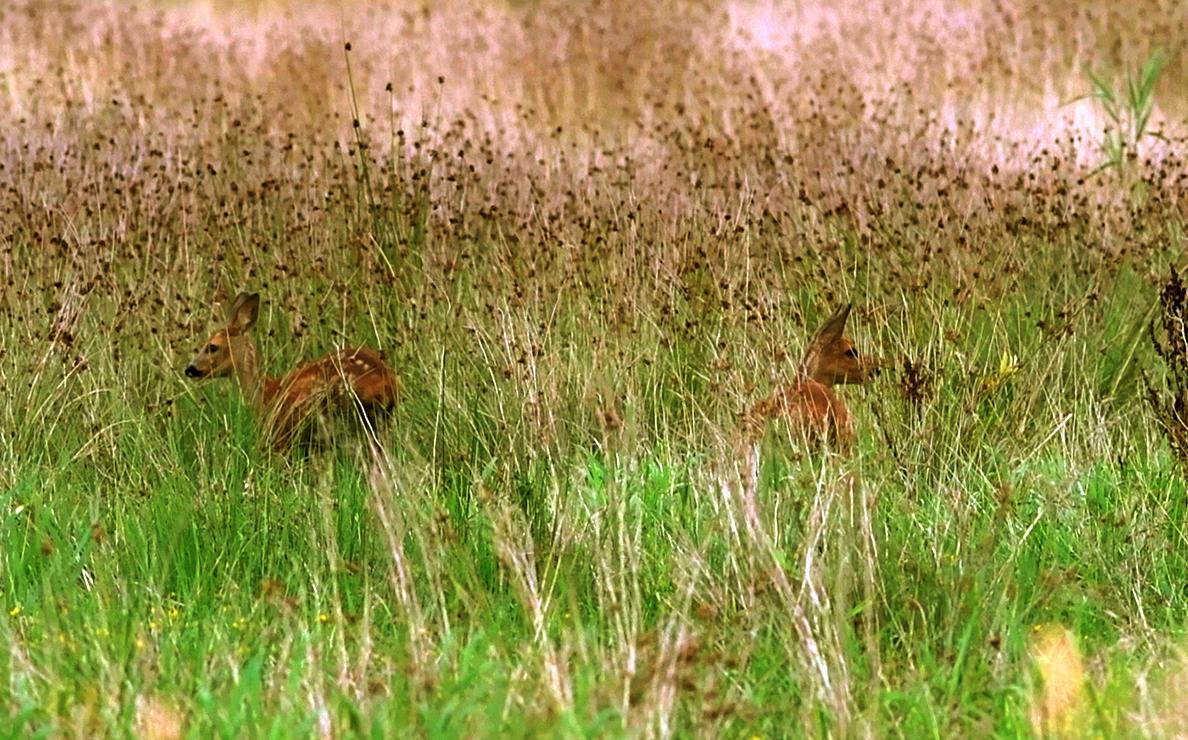 Een tweeling in het hoge gras van het Rauwe Veld - Foto: ©Louis Fraanje