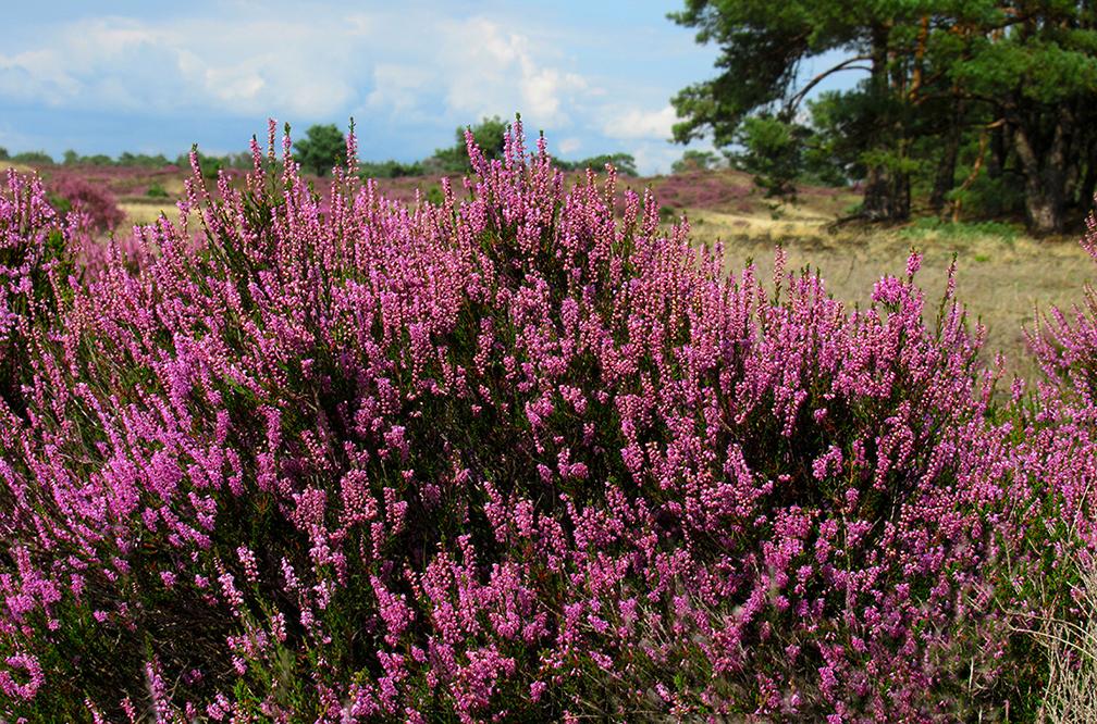 Op veel plaatsen zijn de paarse bloemetjes zeker nog niet verdwenen – Foto: ©Fransien Fraanje