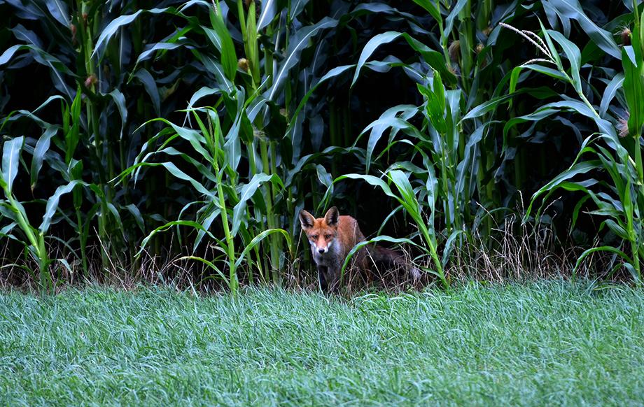 Op een gegeven moment komt hij uit de mais tevoorschijn – Foto: ©Louis Fraanje