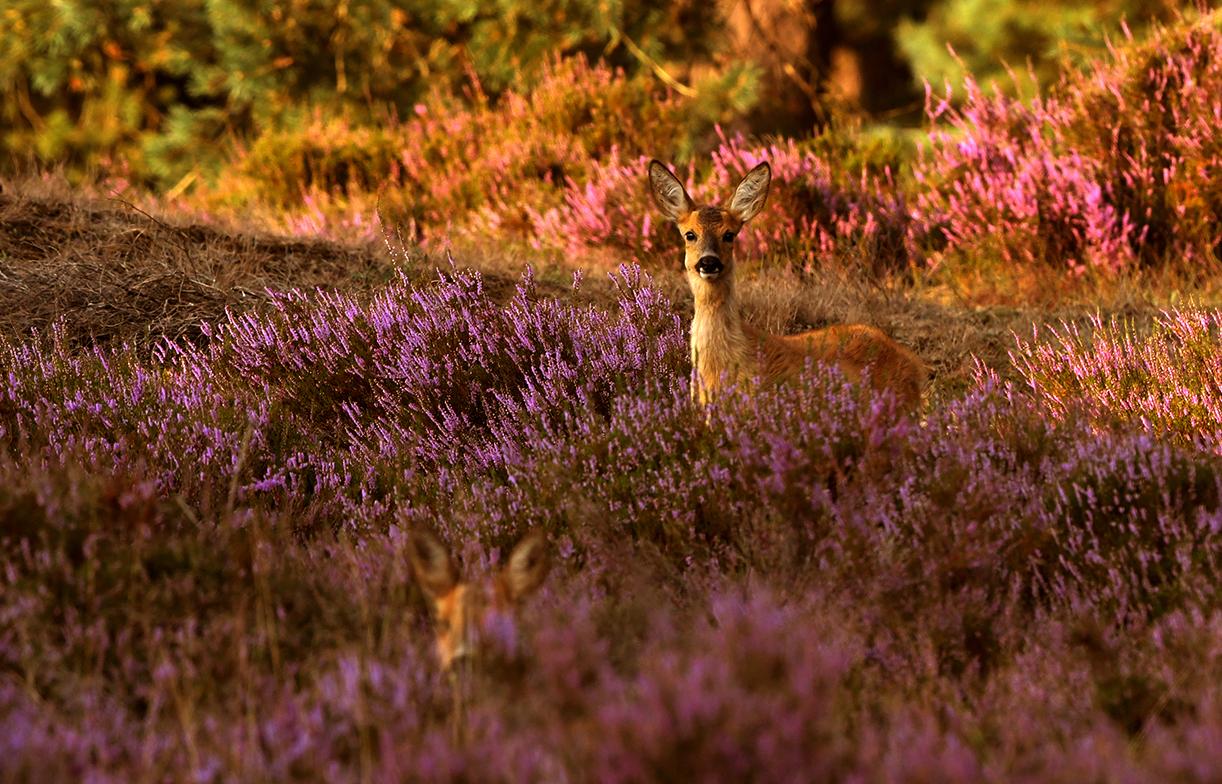 In het lage strijklicht komt er iets bruins vanuit de paarse heide omhoog – Foto: ©Louis Fraanje