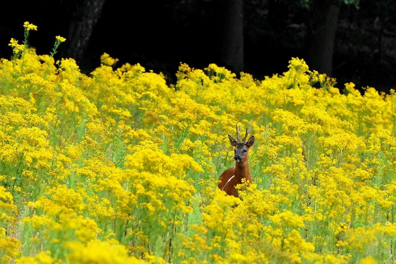 Terstond na een paar keer fiepen met het ree mechaniek (buttolo) stond plotseling tegen de bosrand in een zee aan bloeiend/geelkleurig Jacobs-Kruiskruis, een schoonheid van een reebok -naar zijn vermeende concurrent- in mijn richting te zekeren - Foto: ©Ton Heekelaar