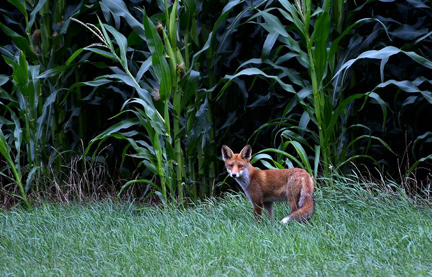 Eenmaal buiten de dekking van de mais, blijft hij weer staan – Foto: ©Louis Fraanje