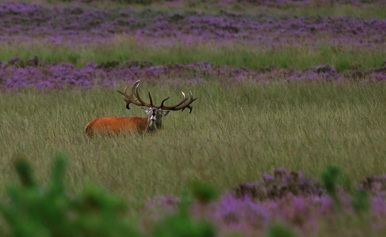 Dan... ineens gooit hij z'n kop achterover en galmt het oergeluid over de heide - Foto: ©Louis Fraanje