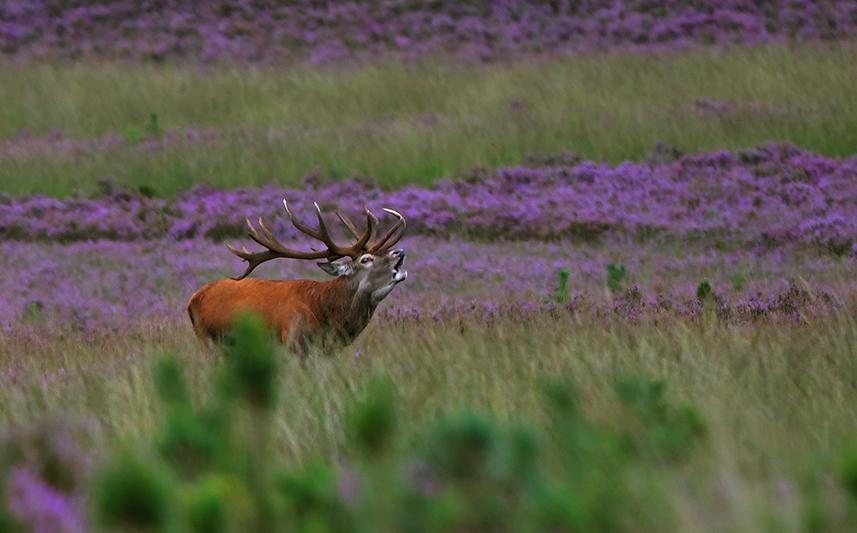 Een schitterend gezicht dit burlende plaatshert in de bloeiende heide - Foto: ©Louis Fraanje