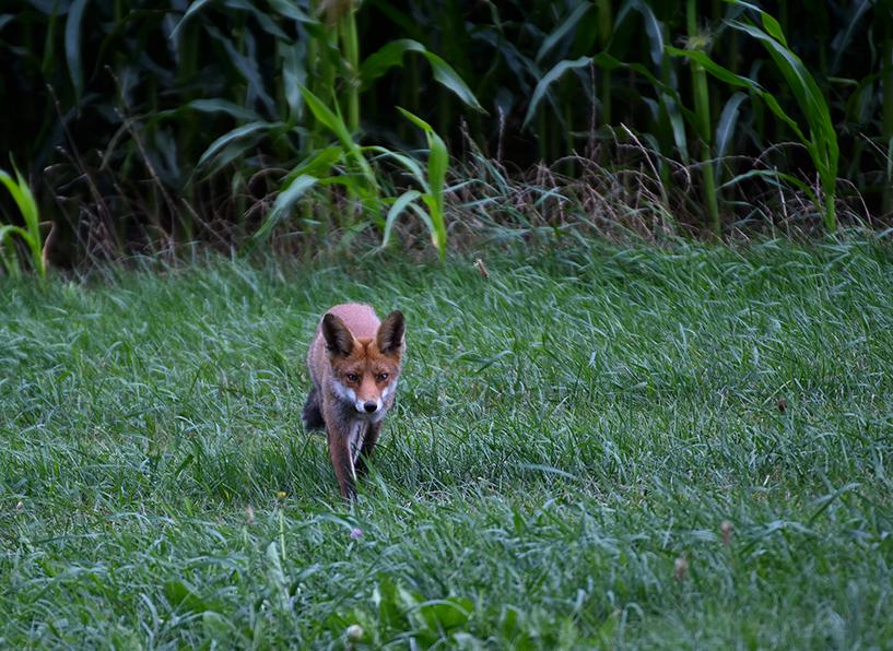 Ineens komt de vos 'doelbewust' onze kant op wandelen – Foto: ©Louis Fraanje