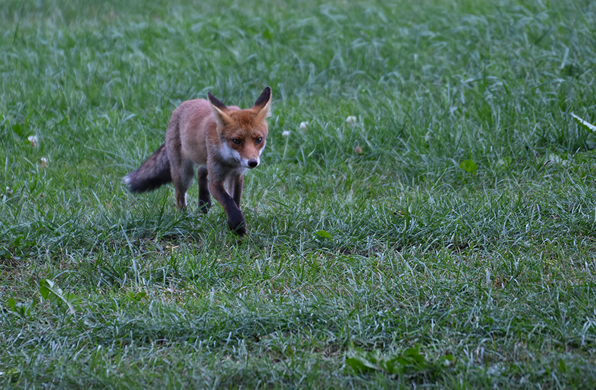 Alsmaar dichter en dichter komt de vos naar ons toewandelen – Foto: ©Louis Fraanje