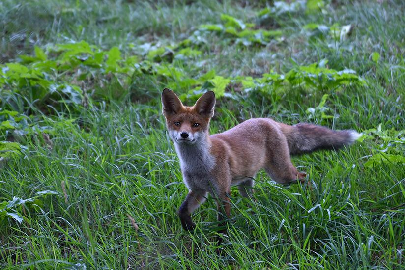 Hij bleef maar heen en weer wandelen in het weiland – Foto: ©Louis Fraanje