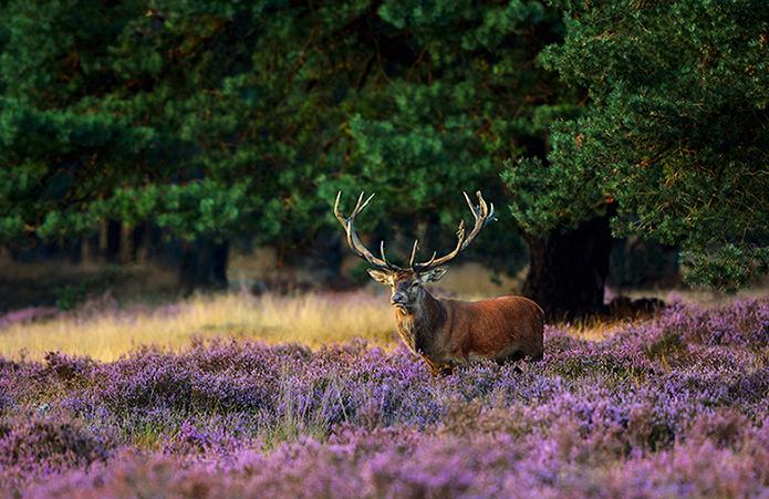 Het hert kwam heel statig de bloeiende heide opwandelen - Foto: ©Fransien Fraanje