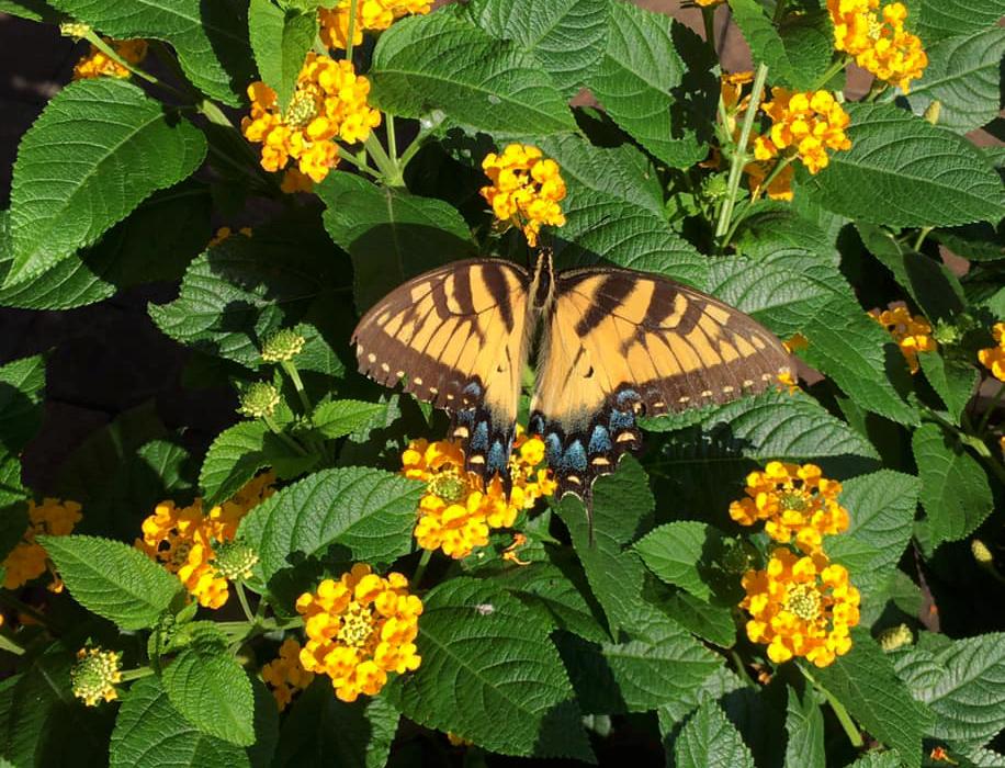 Dit is ook de Papilio Clausus het mannetje - Foto: ©Agaat Den Hertog