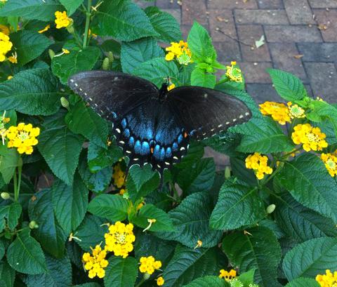 Dit is de Papilio Clausus het vrouwtje - Foto: ©Agaat Den Hertog