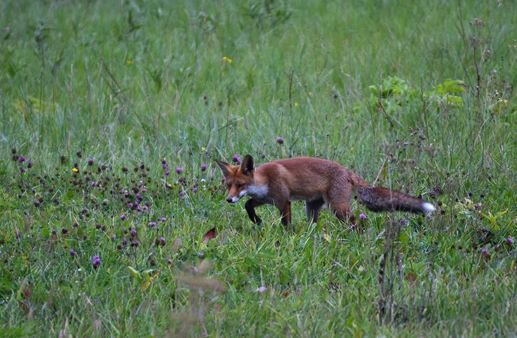 Daar ging de vos in 'tijger-sluip-gang' door het weiland – Foto: ©Louis Fraanje