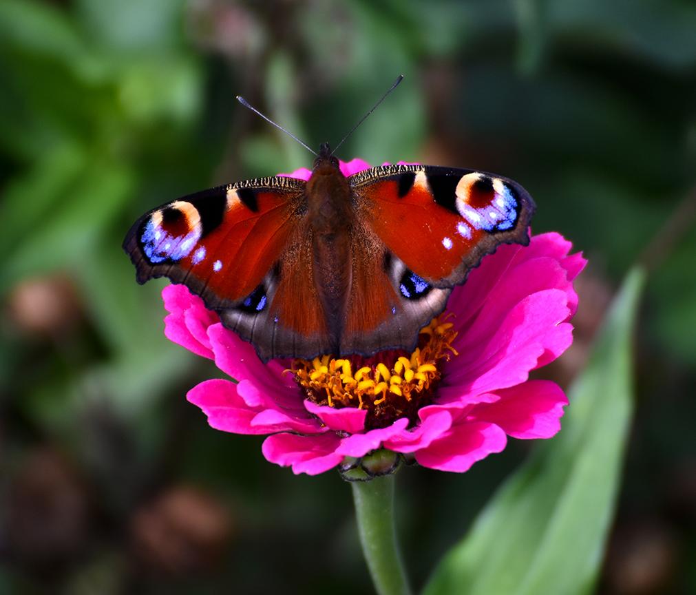Een prachtige Dagpauwoog is op een bloem geland - Foto: ©Louis Fraanje