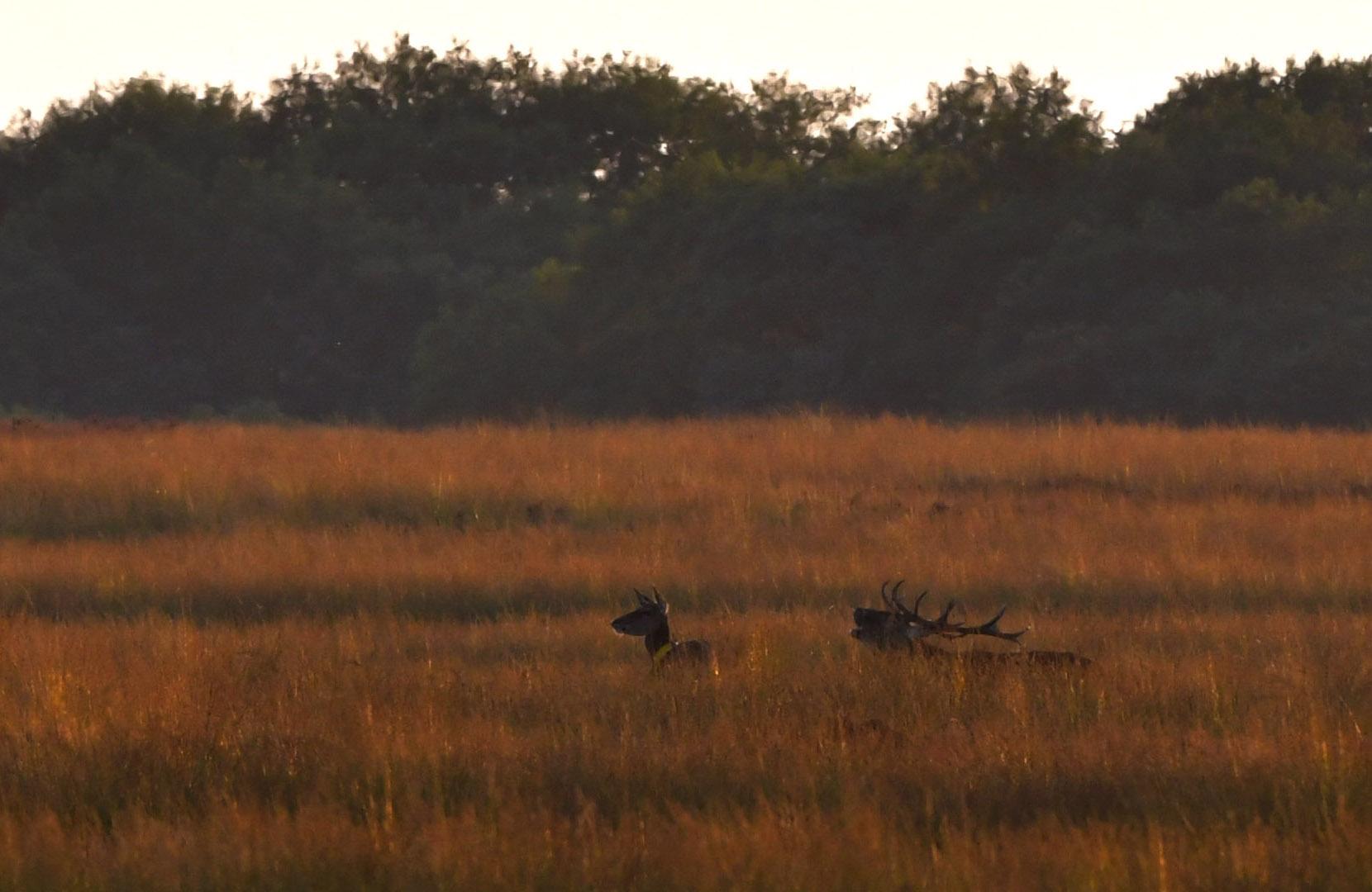 Helemaal achterin op het Reemsterveld een hert met de gezenderde hinde - Foto: ©Louis Fraanje