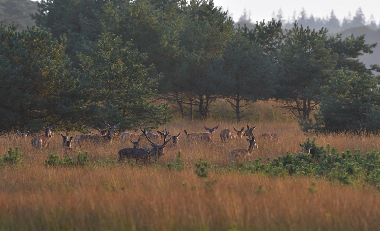 Hij volgt gedwee zijn dames naar de open vlakte van het Reemsterveld – Foto: ©Louis Fraanje