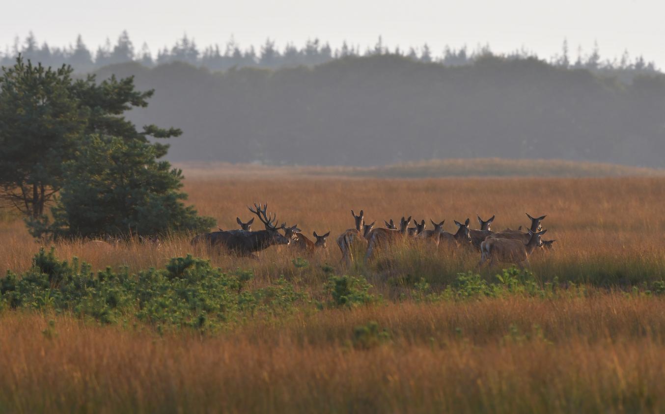 Dan zien we het bronstroedel uit de bosrand komen en de open vlakte op trekken – Foto: ©Louis Fraanje