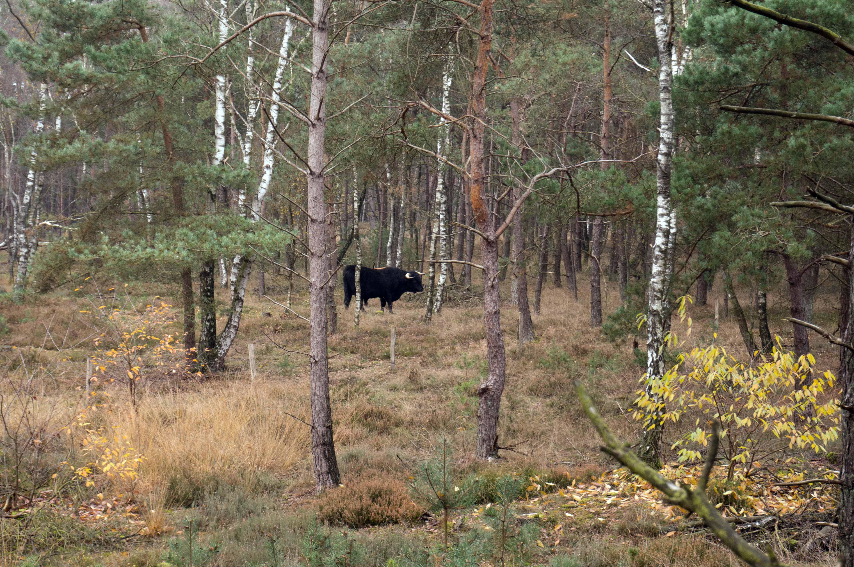 Echt (st)oer, zo'n exemplaar van een tamme rundersoort, waaruit het nieuwe 'oerrund' Tauros wordt gefokt. Een Sayaguesastier in het bos aan de rand van het Mosselse Zand – Foto: ©Anja Arentzen