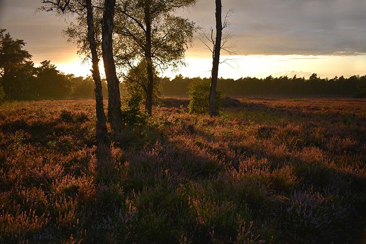 Prachtig is dat lage zonlicht over de bloeiende heide - Foto: © Louis Fraanje