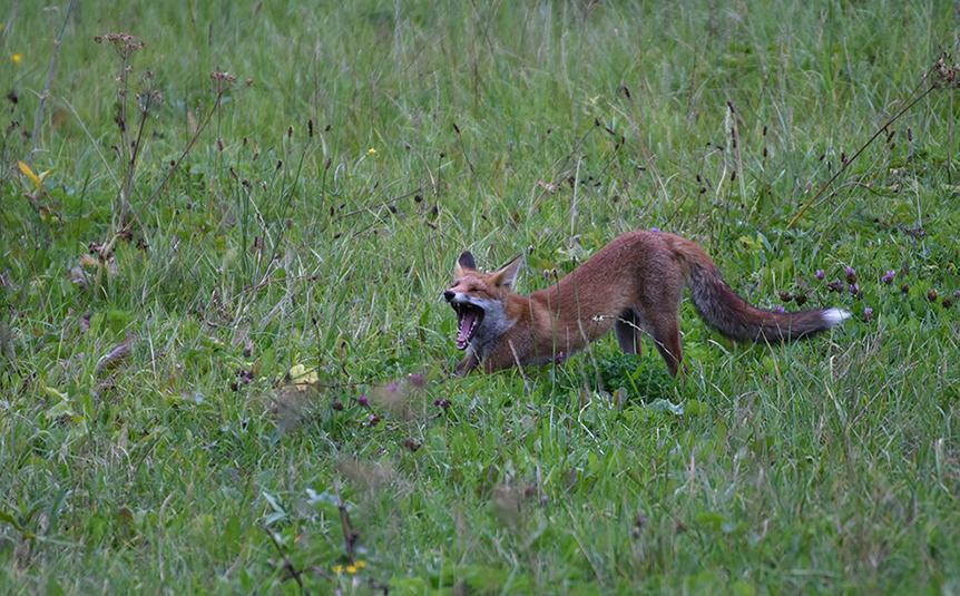 Als de vos moet gapen, zien we zijn vlijmscherpe tanden heel duidelijk – Foto: ©Louis Fraanje