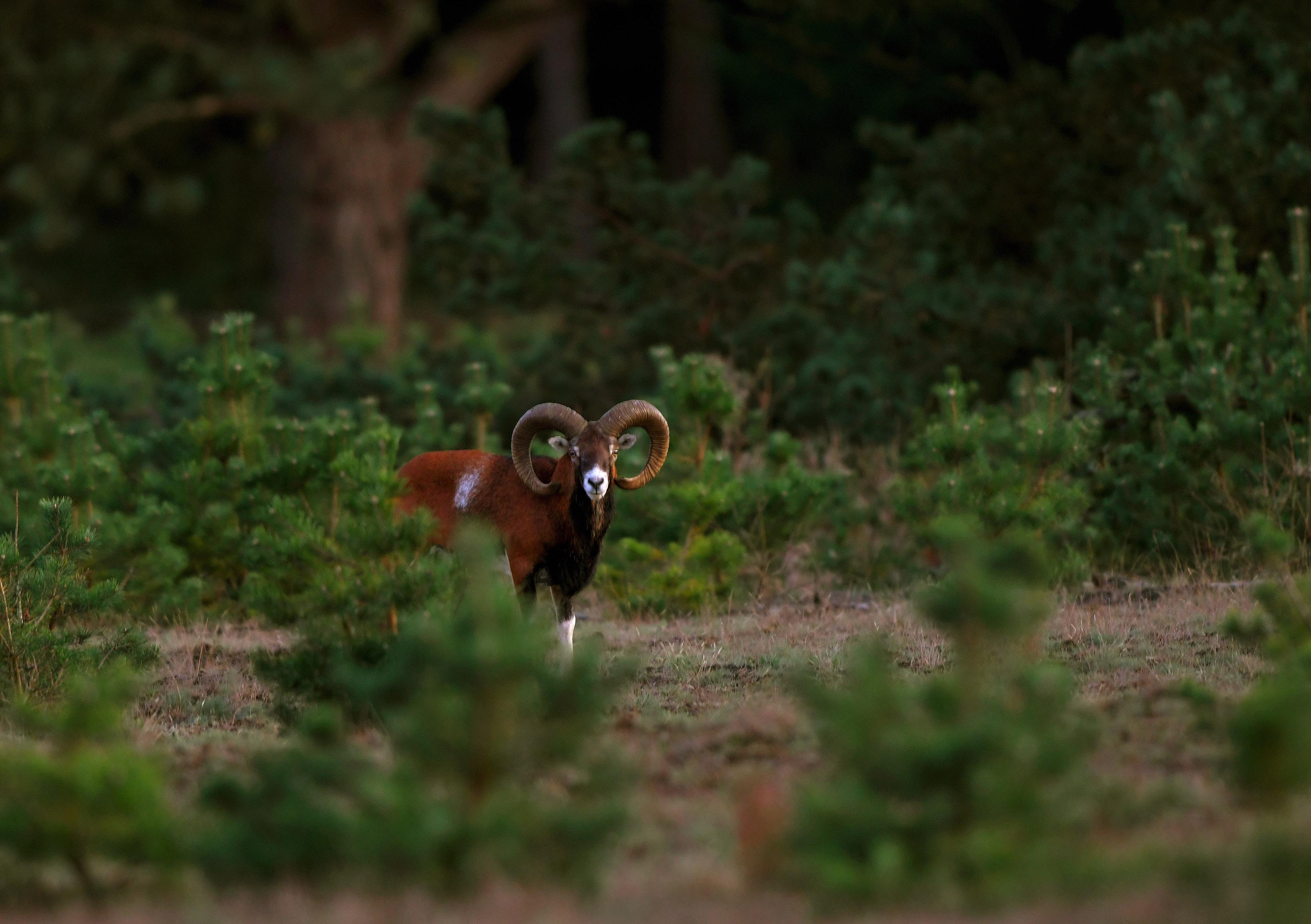 Een mooie moeflonram bij het bos op De Wet - Foto: ©Louis Fraanje