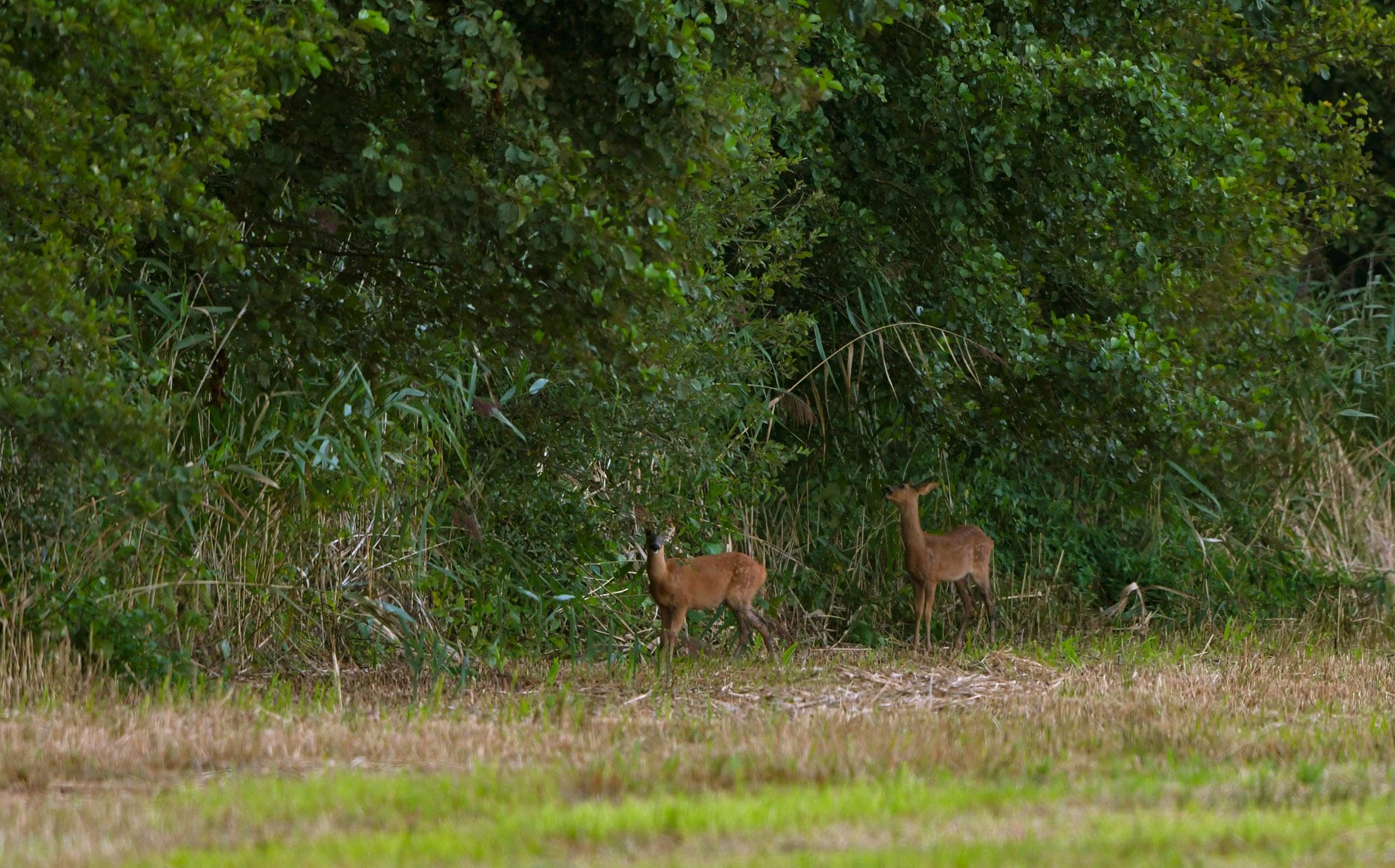 De twee reekalveren proberen langs de bosrand nog wat groen te verorberen – Foto: © Louis Fraanje