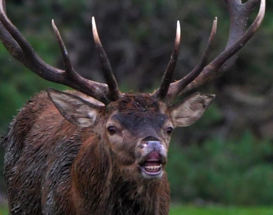 Bij het 'flemen' trekt het hert zijn bovenlip omhoog - Foto: ©Louis Fraanje