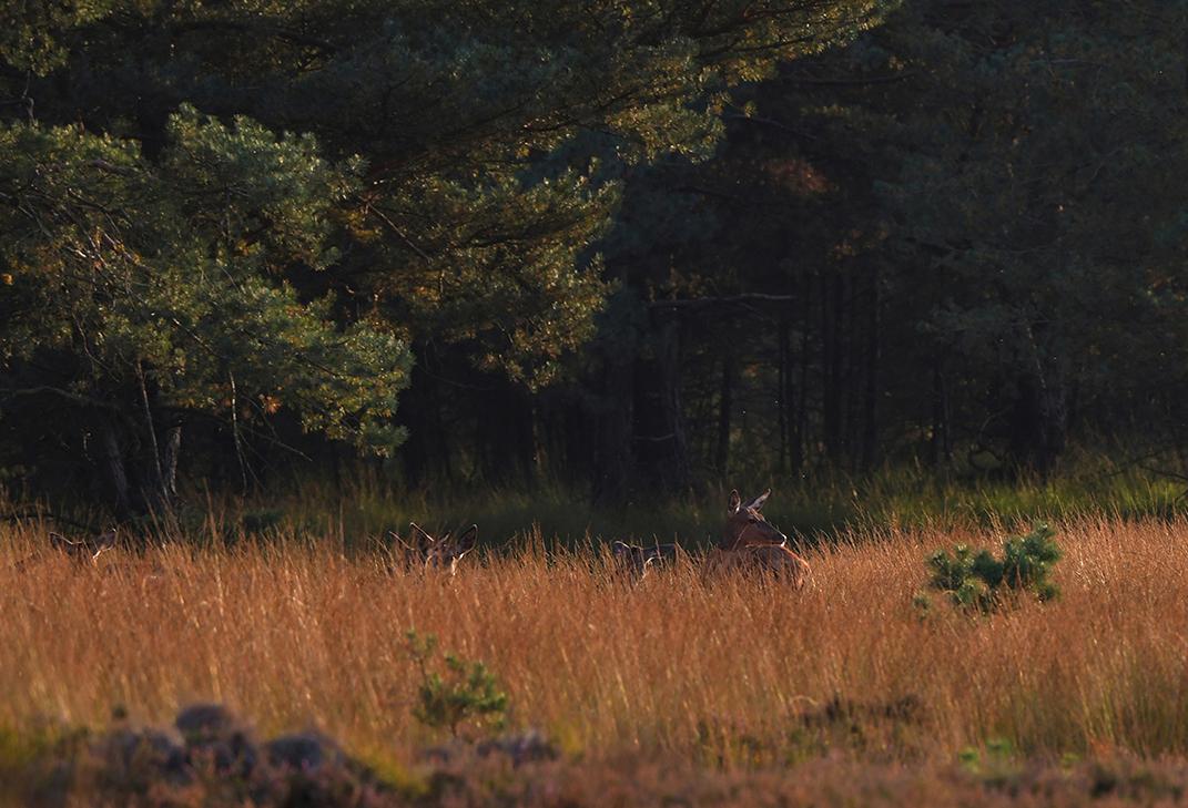 Een deel van het grote kaalwild-roedel staat in de bosrand – Foto: ©Louis Fraanje