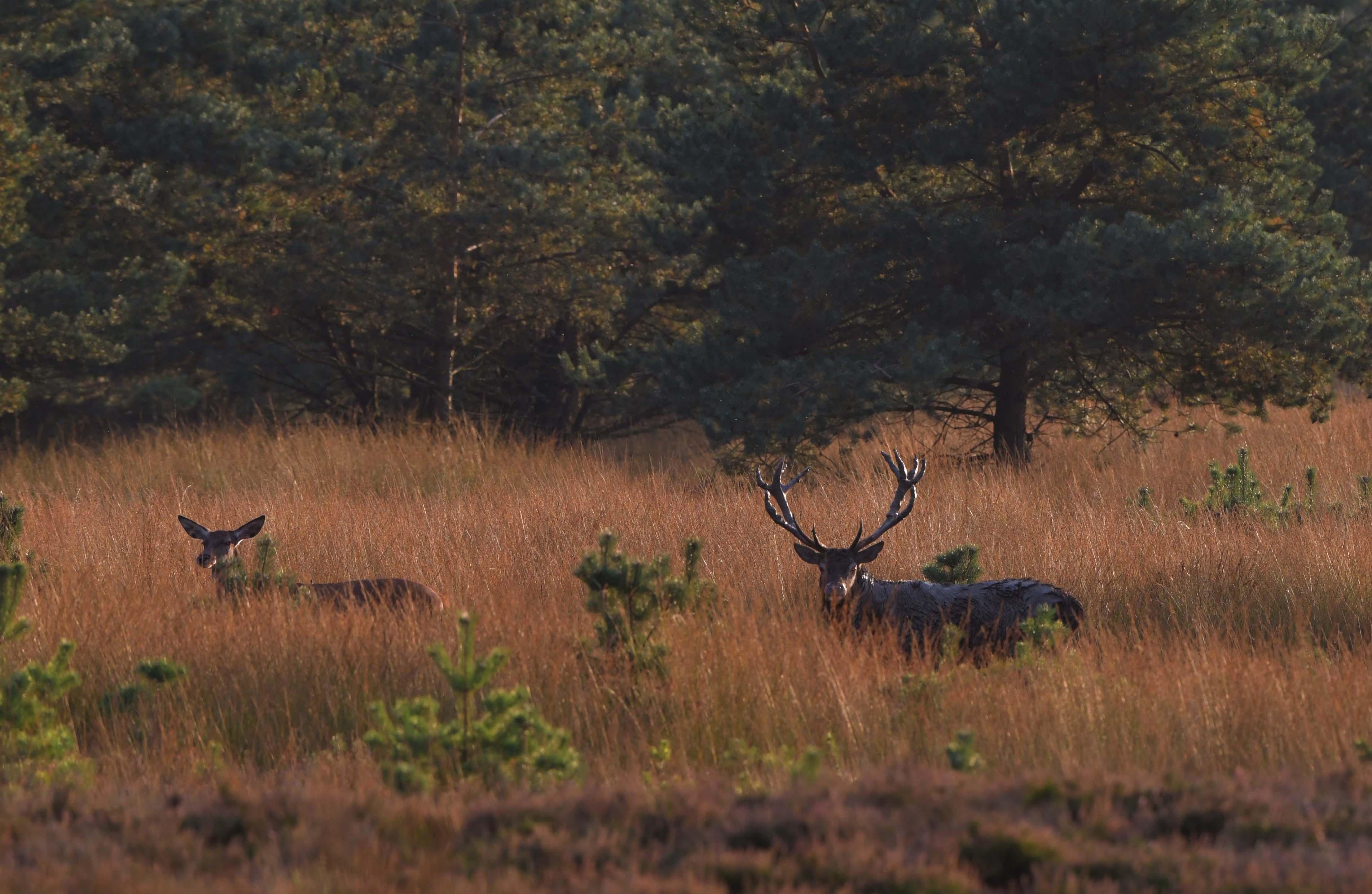 Na het modderbad trekt het hele roedel met het plaatshert naar de bosrand – Foto: ©Louis Fraanje