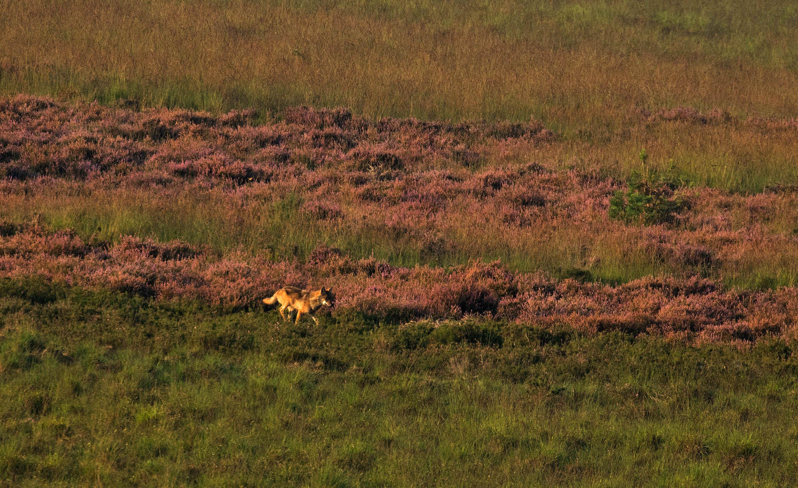 Wat schetst mijn verbazing als er - geheel onverwacht - een 'wolf' ontspannen door de heide wandelt - Foto: ©de Veluwenaar