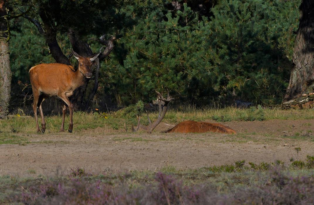 Het hert neemt regelmatig een modderbad - Foto: ©Louis Fraanje