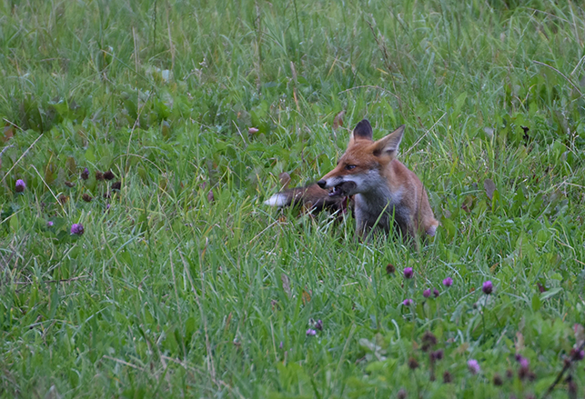De muis kon helaas niet ontkomen aan de vlijmscherpe tanden van de vos – Foto: ©Louis Fraanje