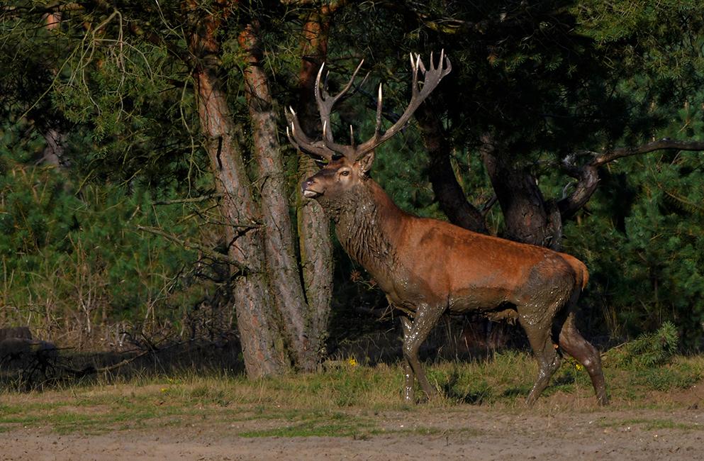 Als een koning van de Veluwe staat hij op uit de zoel - Foto: ©Louis Fraanje