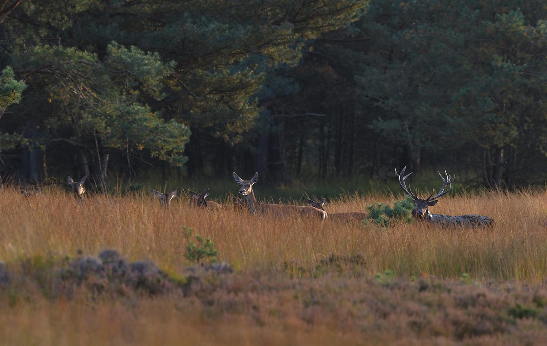 Het hele kaalwild-roedel trekt samen met het plaatshert naar de bosrand – Foto: ©Louis Fraanje