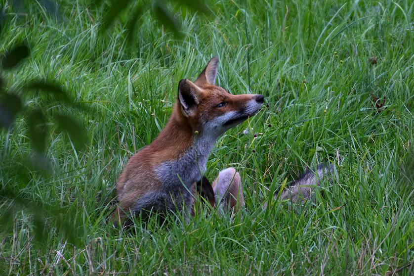 De vos gaat op zijn achterste zitten en krabt eens achter zijn oor – Foto: ©Louis Fraanje