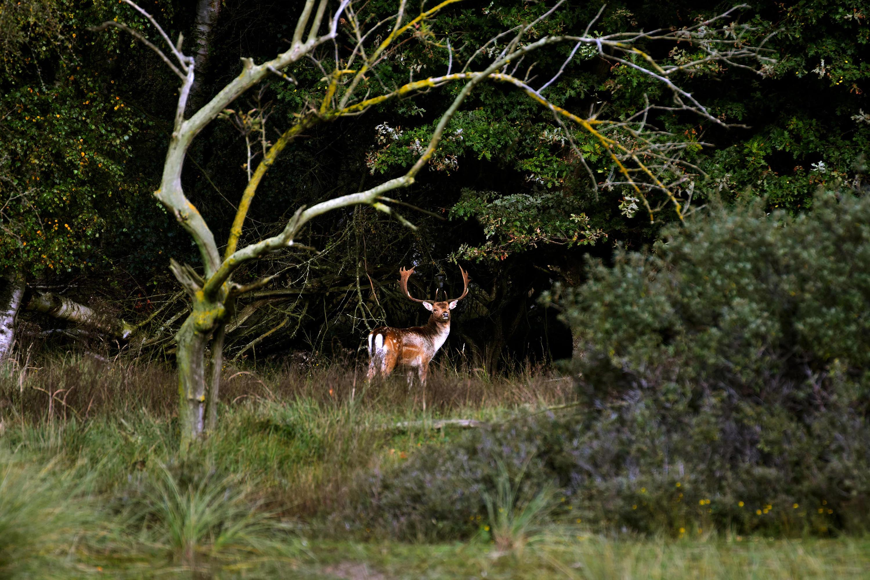 Een damhert staat ons vanuit de bosrand aan te kijken - Foto: ©Louis Fraanje
